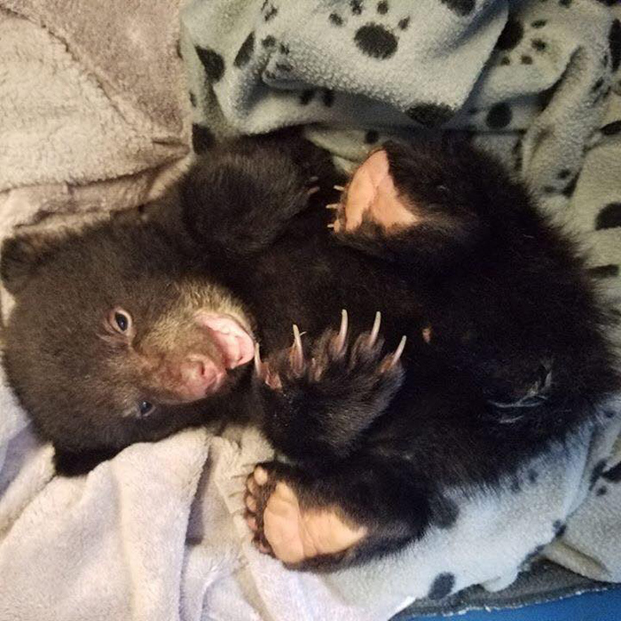 man rescues baby bear cub