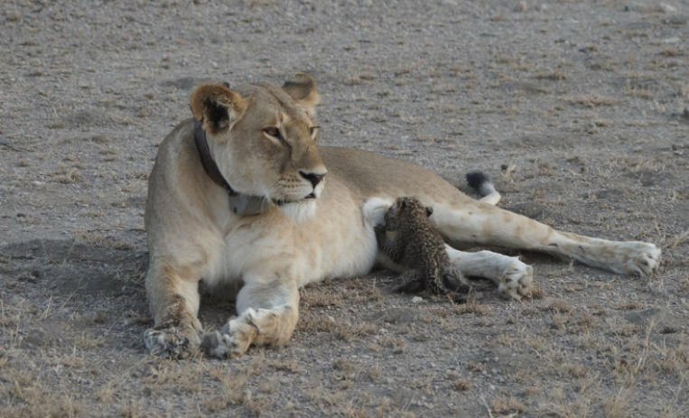 lion nursing baby leopard