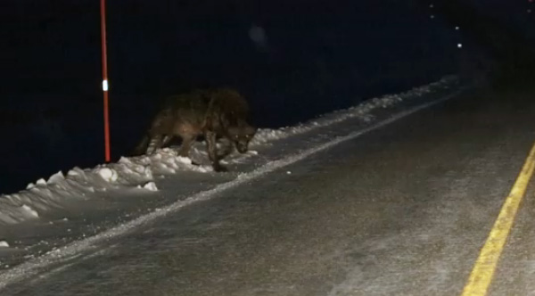 Werewolf Man Films Enormous Wolf During Late Night Drive