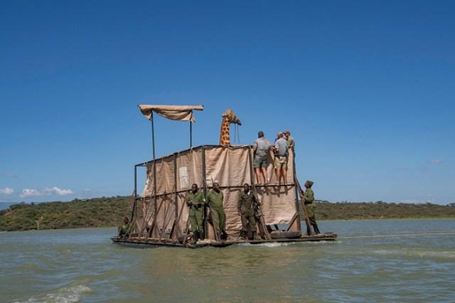 giraffe rescued from sinking island