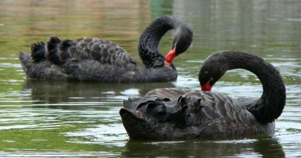 cisne negro é citado para descrever eventos improváveis