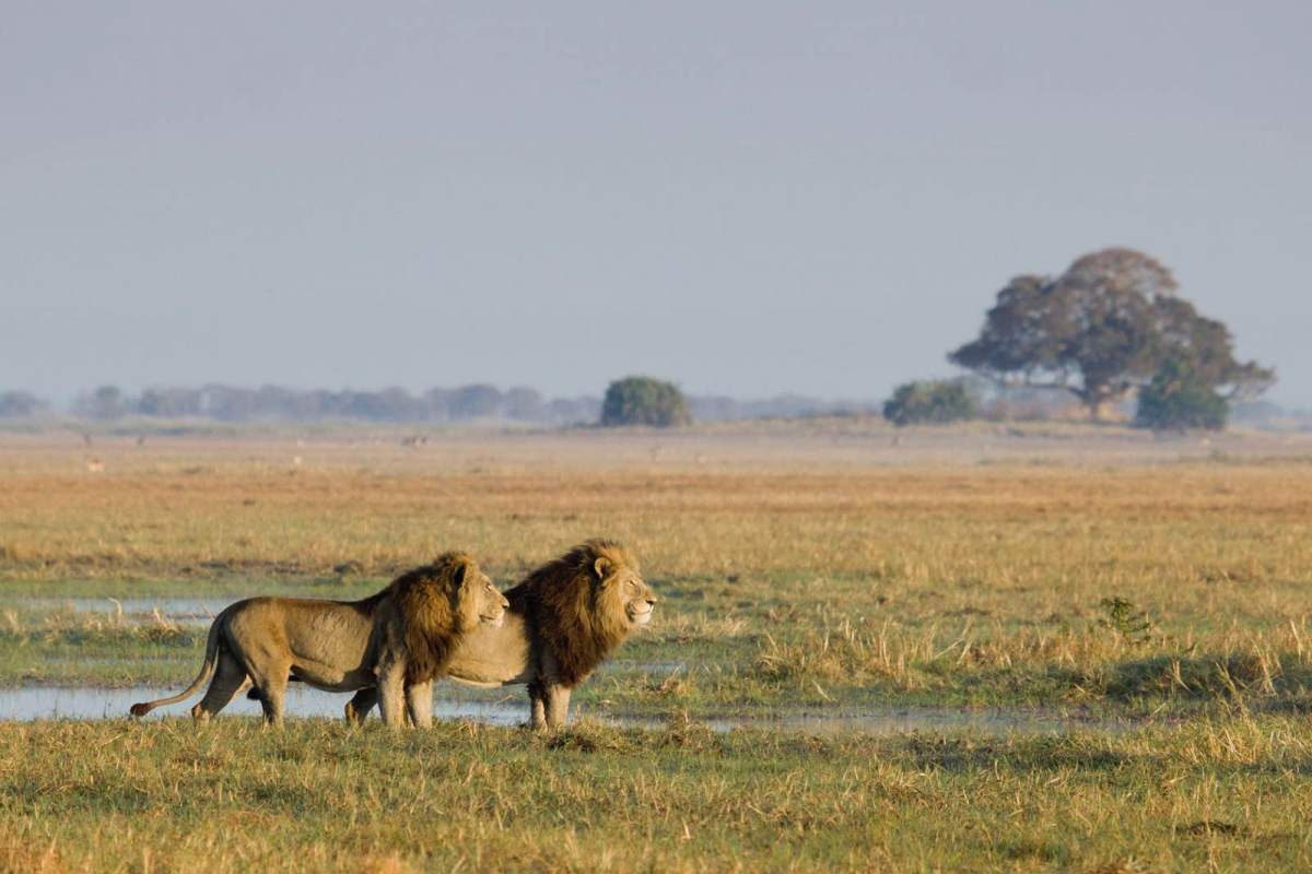The famous lions of the Busanga Plains are an intimidating presence