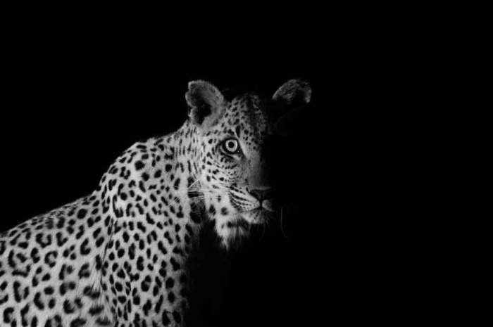 Black and White Images of Big Cats and Wild Dogs