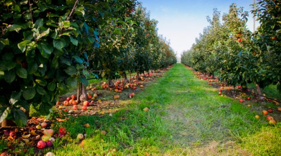The Best Apple Picking Orchards in the West for Fall U-Pick - Sunset Magazine