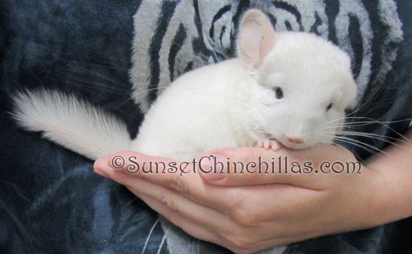 Pinkwhite Chinchilla Pictures