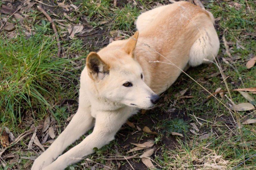 Don't Pet the Dingos Photo (C) Gary Unwim Via Shutterstock