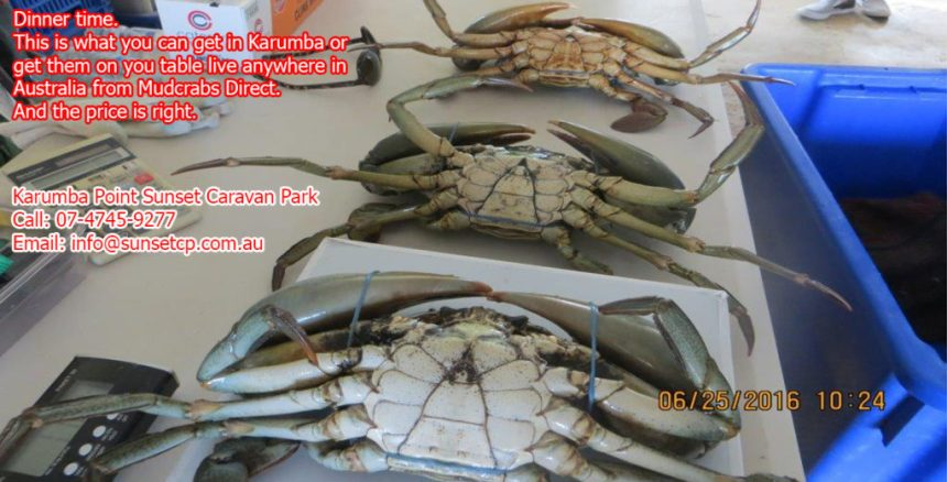 Mud Crabs Nip up to Karumba and catch a big Muddy-Recovered
