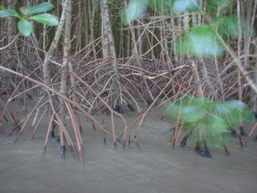 Mangroves in the Estuary