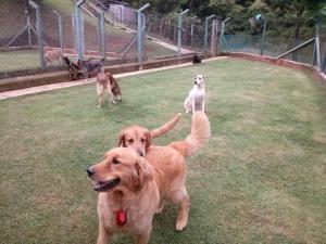 golden retriever e amigos brincando no hotel para cachorros