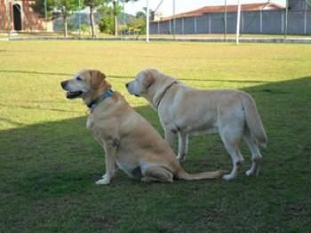 dois labradores no hotel cachorro
