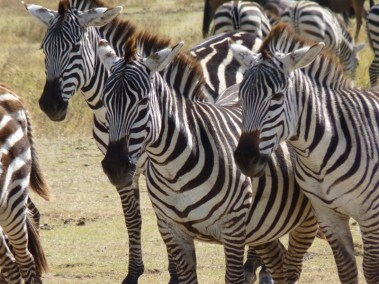 Zebraz in Manyara