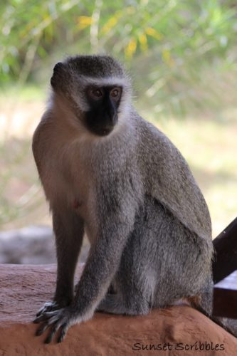 Monkey - South Africa