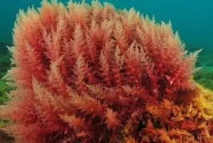 """Porphyra Red Algae– Porphyra is a unique seaweed species-rich in protein, minerals, amino acids, and organic iodine. Think of it kind of like a """"superfood"""" ingredient for the face… This super-rich plant from the sea helps correct cellular metabolism imbalances caused by environmental stressors that impact the skin's dermal matrix, causing the skin to sag and become devitalized. It also helps to minimize the effects of destructive inflammatory enzymes that cause collagen damage and the dermal matrix's breakdown, accelerating the aging process. Plant medicine from the sea is a super-smart ingredient to include in your skin firming arsenal. OurRed Algae Body Serumpenetrates deep into the epidermis to help repair dry, environmentally damaged skin and restore balanced moisture levels."""