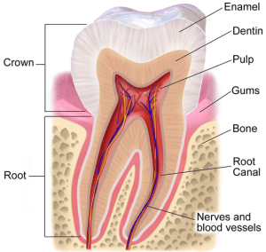 description of tooth anatomy for seniors