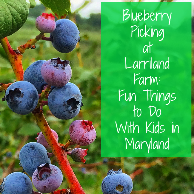 Blueberry Picking at Larriland Farm
