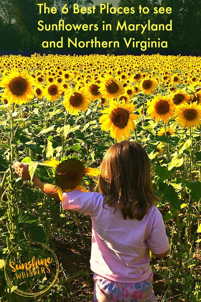 sunflower fields 2 by - photo #47