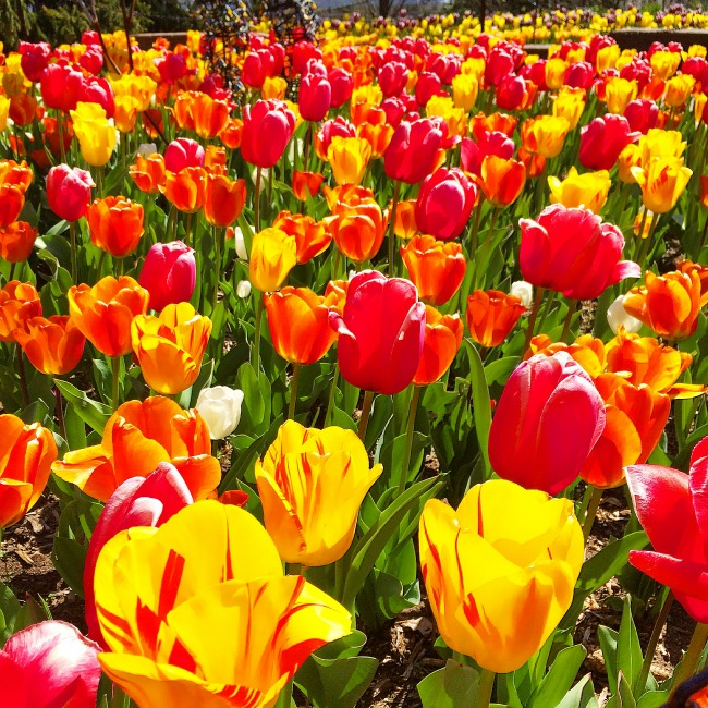 tulips in maryland