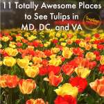 11 Totally Awesome Places to See Tulips in Maryland, DC, and Virginia