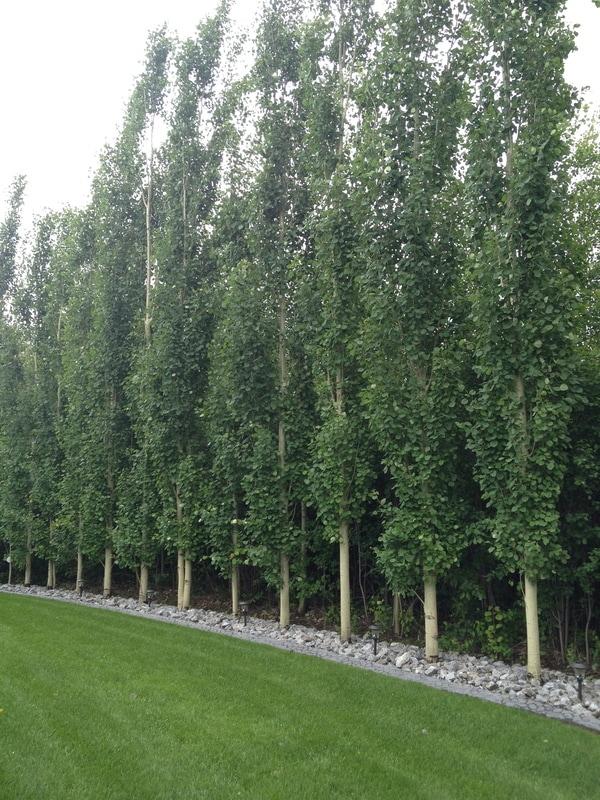 tall narrow privacy trees