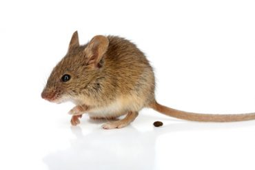 rodent poo is dangerous to your family