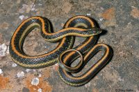 garter snake picture brevard county florida