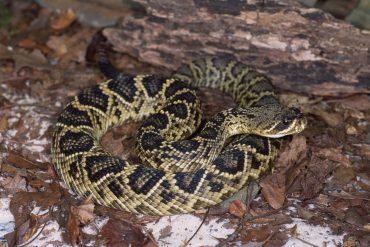 rattlesnake florida