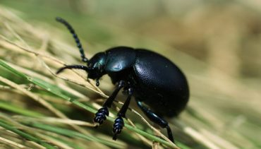 black beetle usa