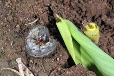 cutworm pests brevard county
