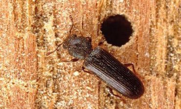 powder post beetle melbourne fl