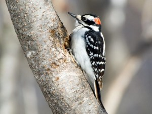 hairy woodpecker florida