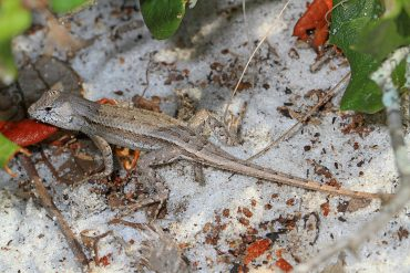 lizard in Florida