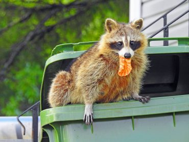 raccoon and other pests