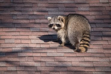 raccoon pest