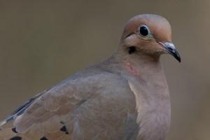 Morning Dove