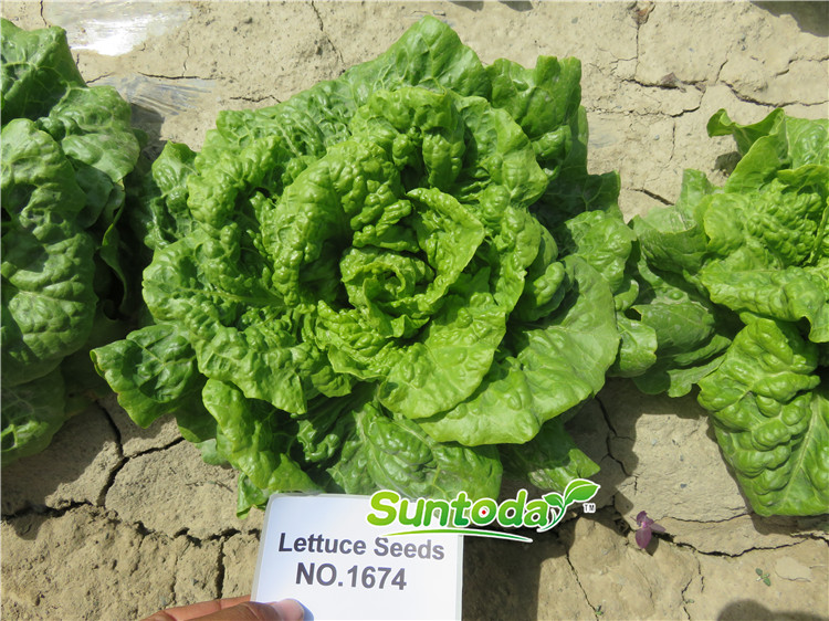 Newest Lettuce seeds F1_Guangdong Suntoday Seeds