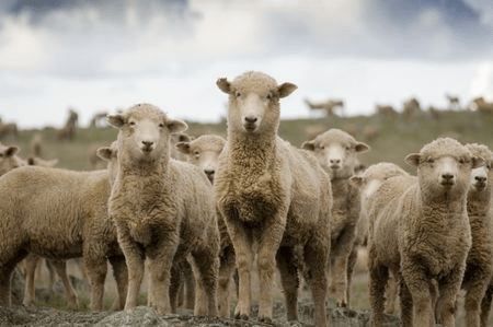 Sheep mob herd justice social media