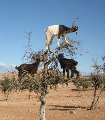 Goats in a Tree - Be Useful