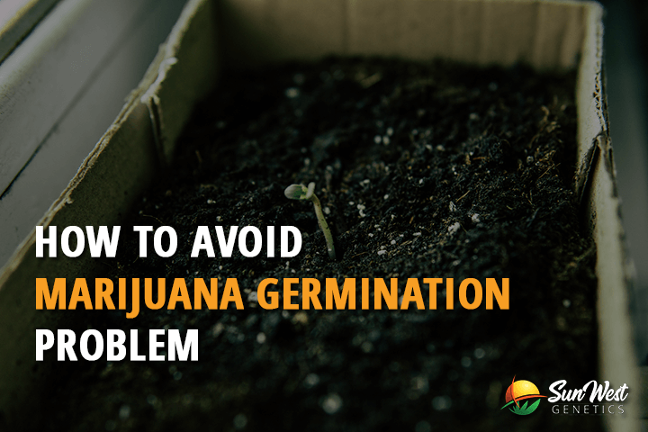 marijuana germination problems