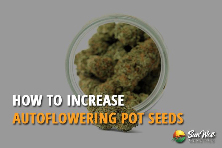 autoflowering pot seeds