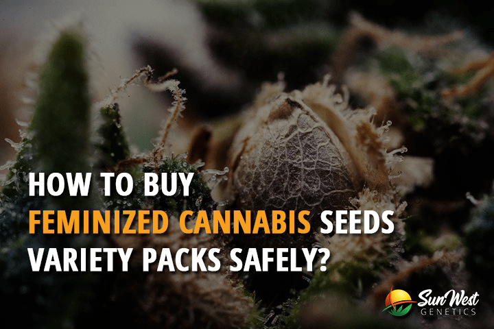 How to Buy Feminized Cannabis Seed Variety Packs Safely?