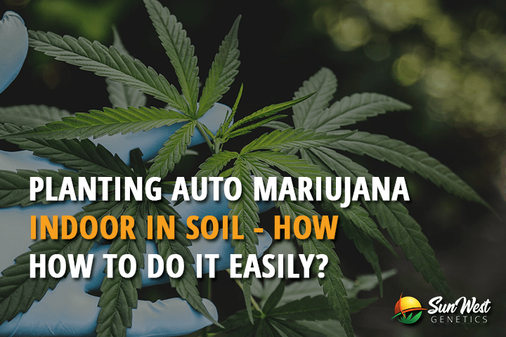 Planting Auto Marijuana Seeds Indoors In Soil – How To Do It Easily?
