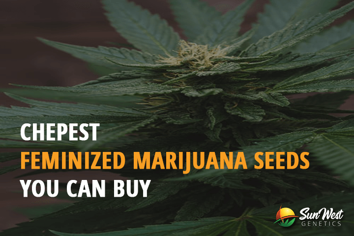 cheapest cannabis seeds for sale