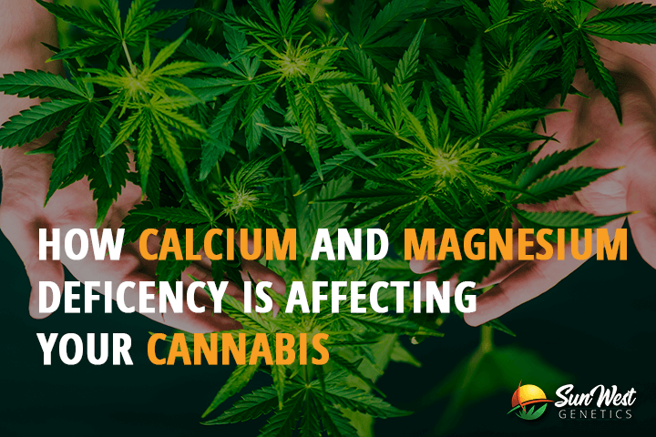 calcium and magnesium deficiency in cannabis