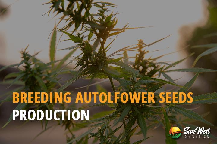 breeding autoflower seeds