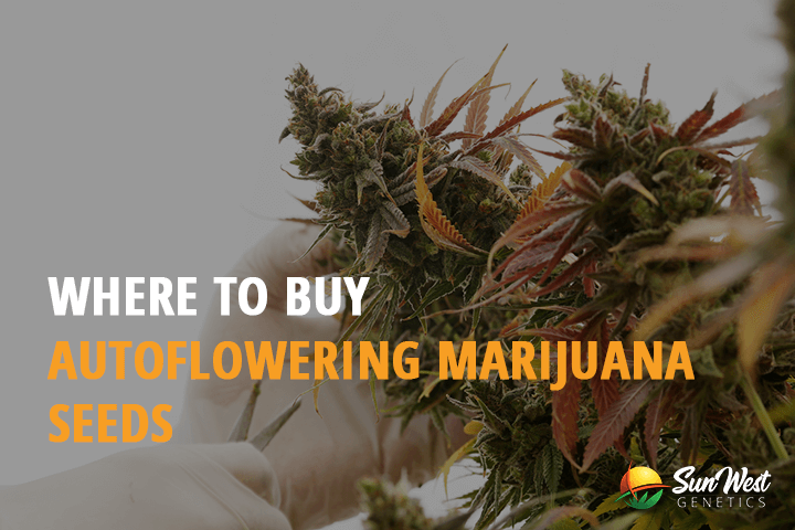 buy autoflowering marijuana seeds