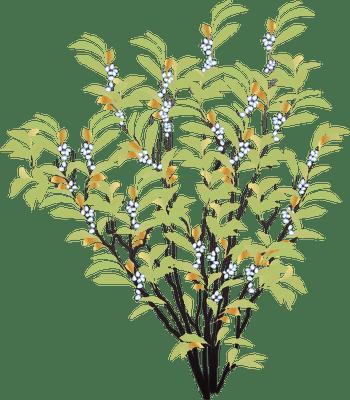 shrub graphic symbols diagram switched light wiring index of ress tice 1 partage visuel ian flora trees shrubs symbol myrica cerifera png