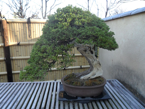 showa_kinen_bonsai_4