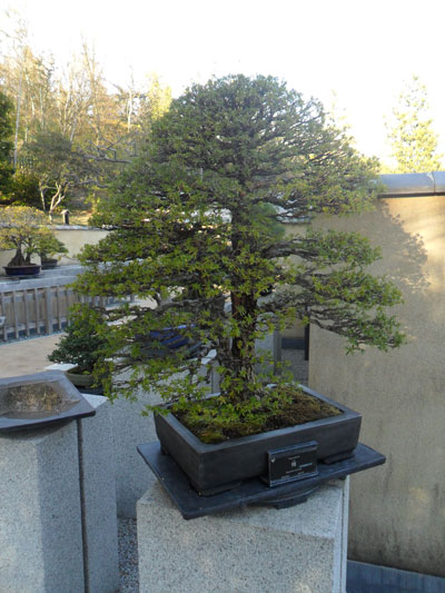 showa_kinen_bonsai_5