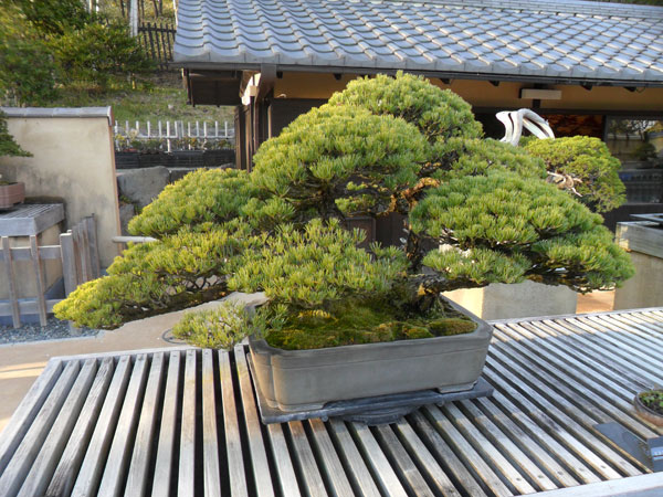 showa_kinen_bonsai_7