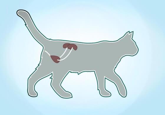 Remèdes naturels pour les chats atteints d'insuffisance rénale